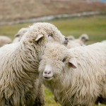 sheep in Tatra Mountains